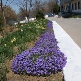 Весенние цветы на аллее госпиталя